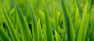 Lawn Watering Tips turf grass selection