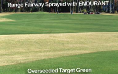 Range fairway sprayed with Endurant versus an overseeded target green in the foreground. (Photo supplied by Geoponics customer)
