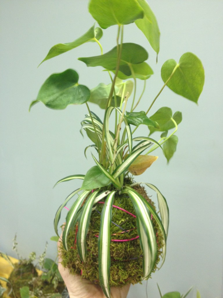 Kokedama moss ball, an easy, environmentally friendly garden idea for hardy drought resistant plants.